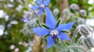 Borretsch, 1cm kleine Blüte