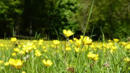 Butterblumen-Wiese
