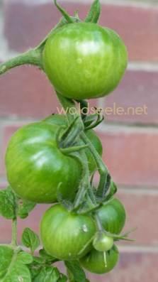 gruene-tomaten
