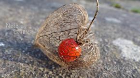 Lampion-Blume