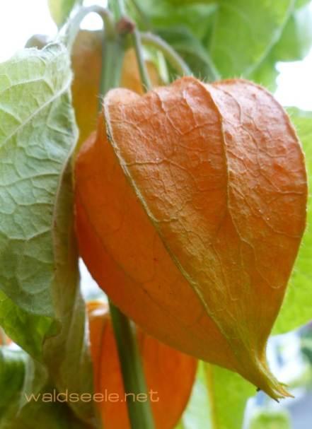 Lampion-Frucht