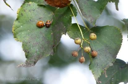 zwei Käferchen links