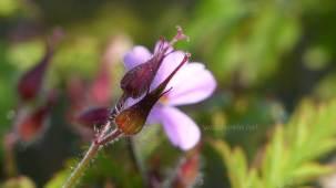 Storchschnabel, 0,5cm kleine Blüte