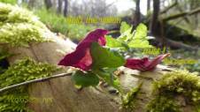 Rosenblüten auf Weißdorn & Holunder