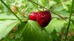 wald-erdbeeren