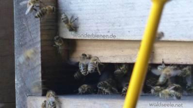 wanderbienen