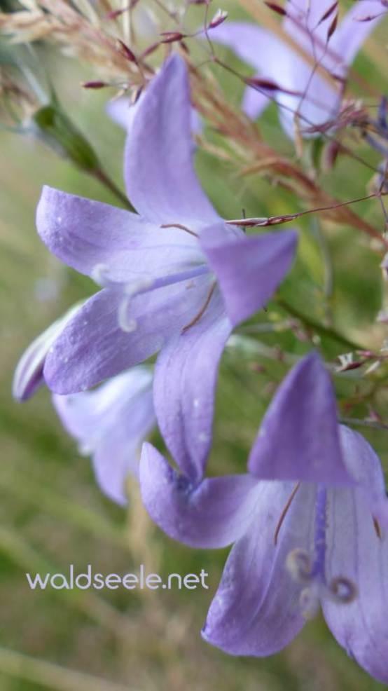 wilde-glockenblumen