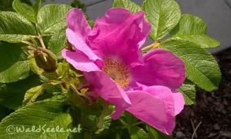 Rosa rugosa2_wz