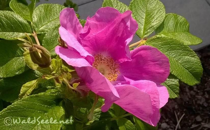 prachtvolle Rosen-Fülle
