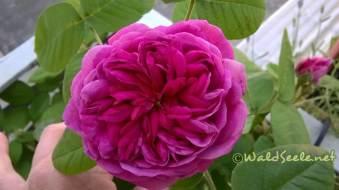 Rose de Resht_wz
